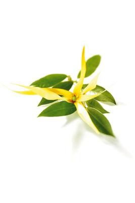 Alteya Organics Ylang-ylang komplett (Cananga odorata) illóolaj - bio 10ml
